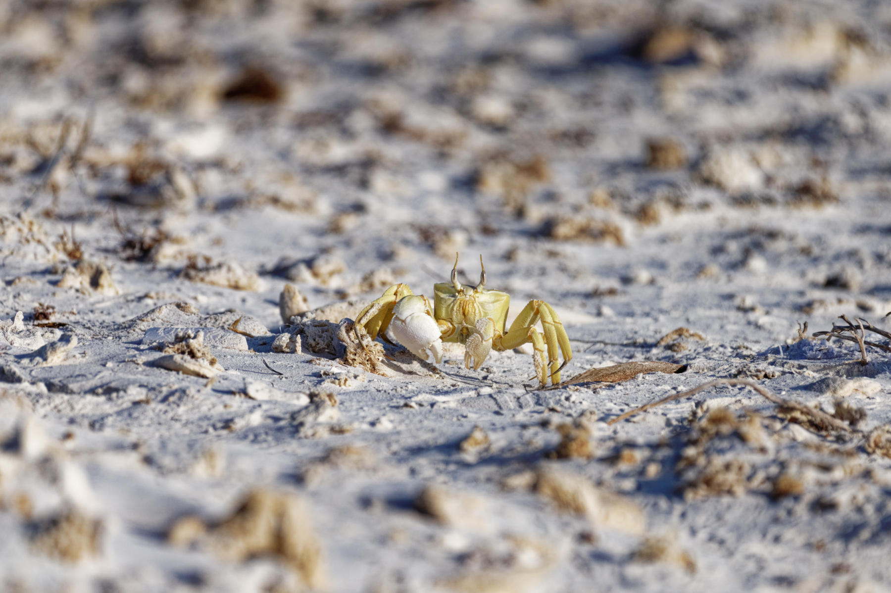 Beach crab, Bar Al Hikman, Oman