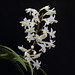 New Zealand autumn orchid by b.landscape