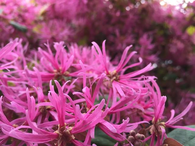トキワマンサク (Chinese fringe flower)