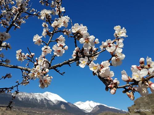 Blüten des Mandelbaumes (Prunus dulcis)