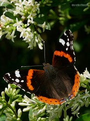 Vanessa atalanta 4 - Photo of Valframbert