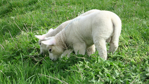 Lammetjes/ Lambs