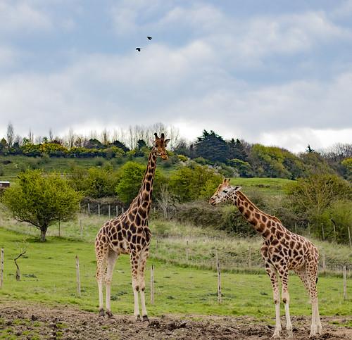 Giraffes .. Safari Park - Port Lympne