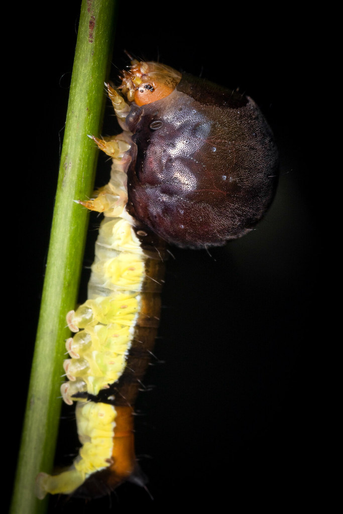 ?Nolid moth larva