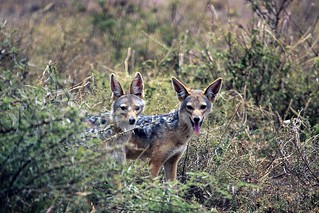 Black-backed jackals at Ndutu in the Ngorongoro Conservation Area in Tanzania