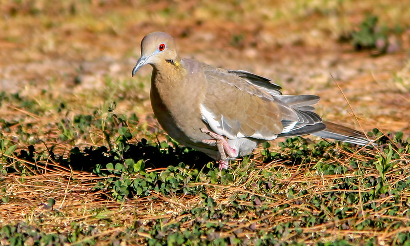 White-Wing-Dove-20D_2007