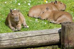GaiaZOO Capibara