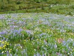 wildflowers along Alta Vista Trail #3