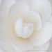 White Camellia (V), 1.29.18