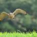 紅隼 Eurasian Kestrel
