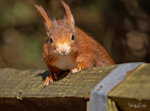🇬🇧 Red squirrel waiting to be fed. (Explored 23/03/19) #19