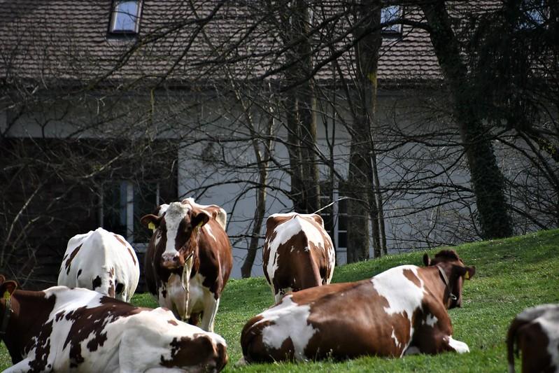 Cows 02.04 (9)