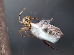 Spider wrapping its prey in spiderweb