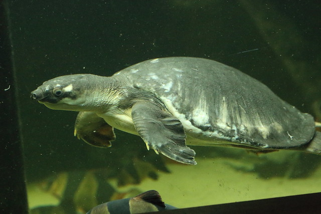 Fly River Turtle, Canon EOS 70D, Canon EF 70-300mm f/4-5.6 IS USM