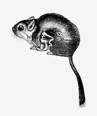 Scaly-tailed squirrel shade drawing
