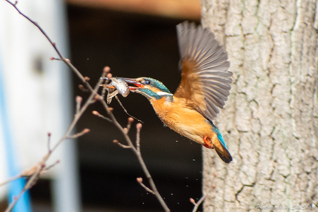 20190216-kingfisher-DSC_1313