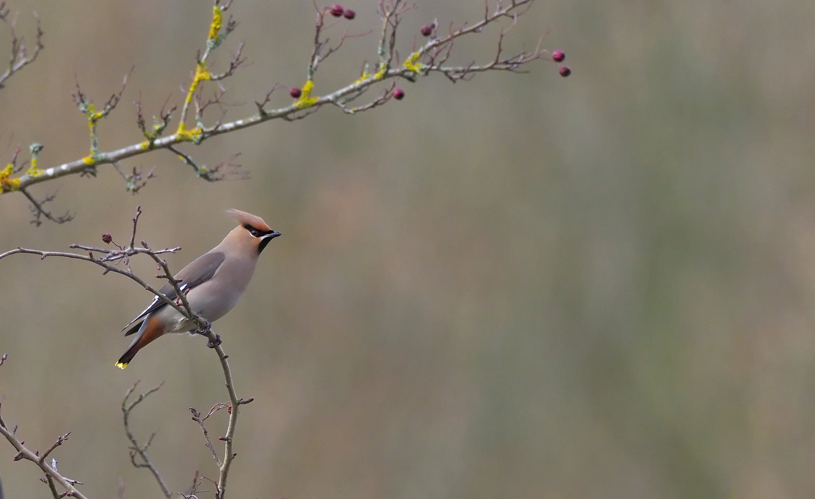 Waxwing - pondering the next tree