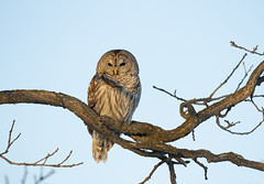 Barred owl perched at sunset