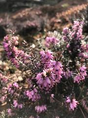 Calluna vulgaris 'Pirbright Rose' (winter heath), Wamsler Rock, NYBG