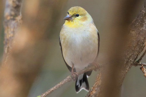 American goldfinch at Lake Meyer Park IA 653A3178