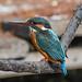 Kingfisher 1903171286.jpg