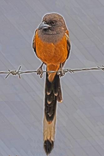 Bird on Wire  Ranthambore DSC_4212