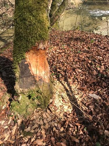 Le retour des castors ... Beaver return