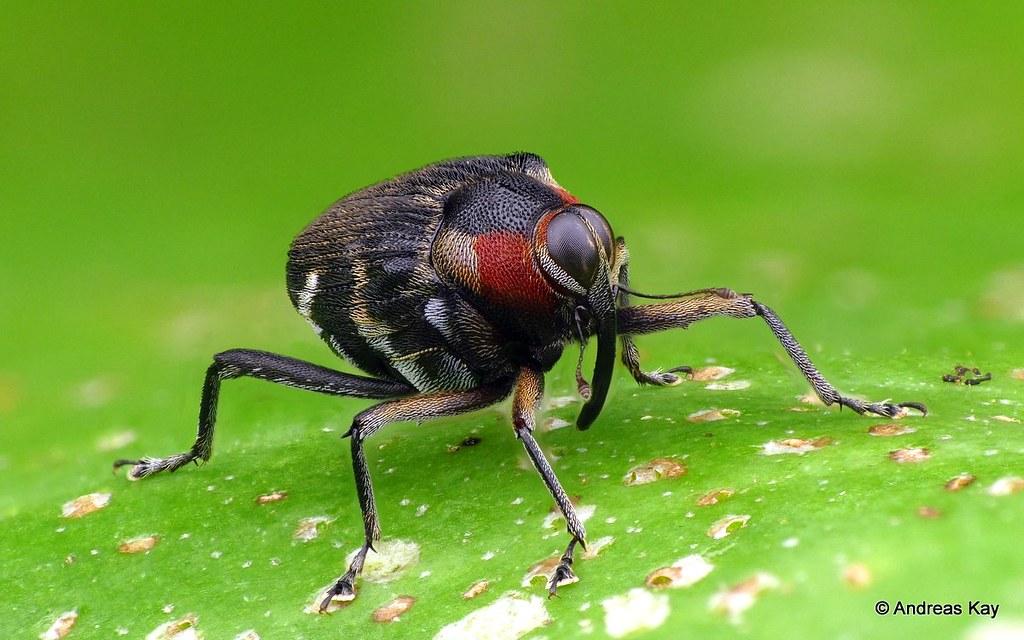 Weevil, Hoplocopturus sp., Curculionidae
