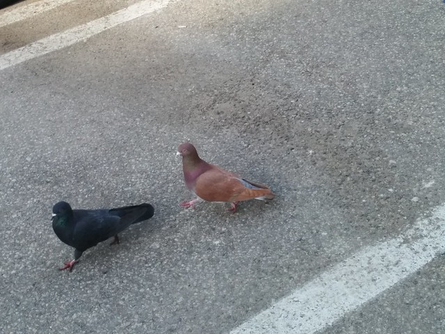 Two pigeons #toronto #churchandwellesley #wellesleystreet #parkinglot #birds #pigeons #latergram