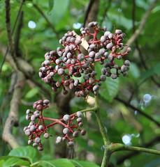 Leea guineensis fruit