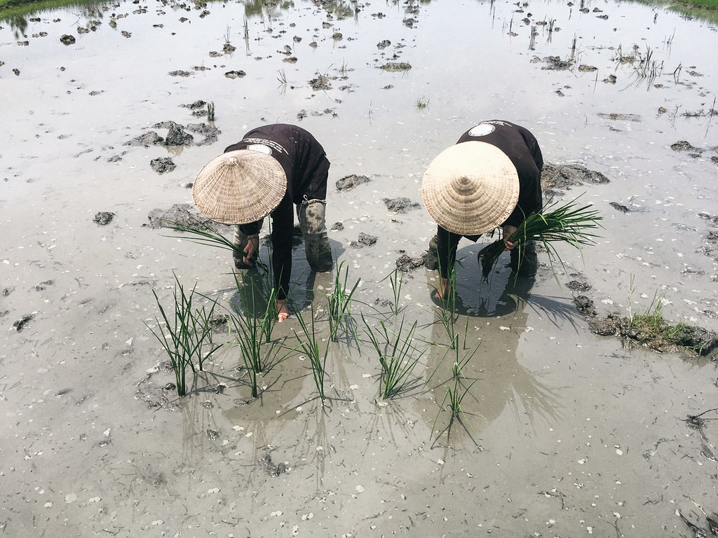 planting-rice-seedlings