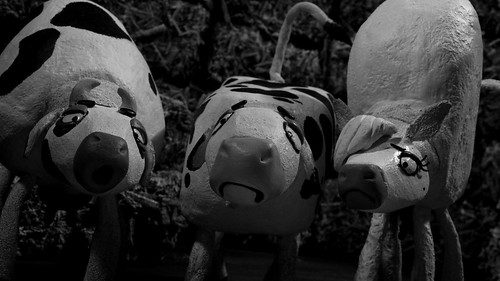 7.乳牛たちのインティファーダ