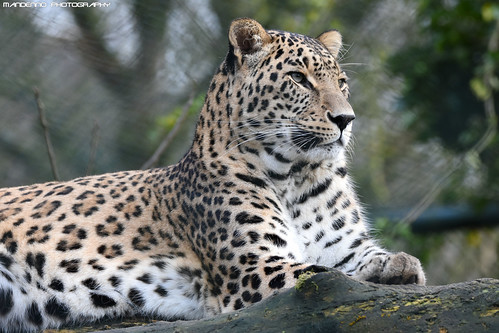Persian leopard - Safaripark Beekse Bergen