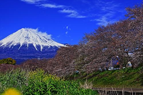 Mt. Fuji & Cherry Blossoms At Ryugenbuchi