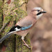 Jay with full crop