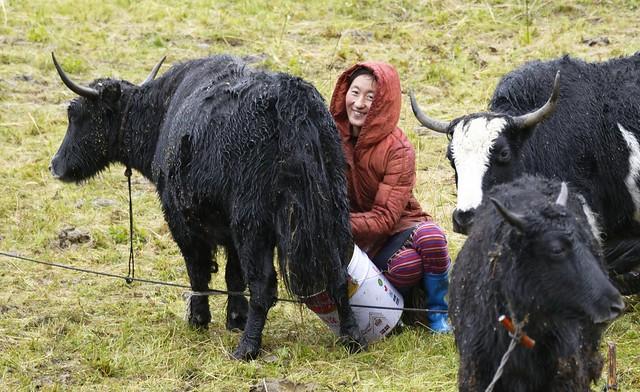 Milking Yak, Tibet 2018