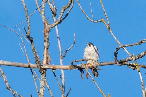 Wanderfalke - Peregrine Falcon - Falco peregrinus - 1