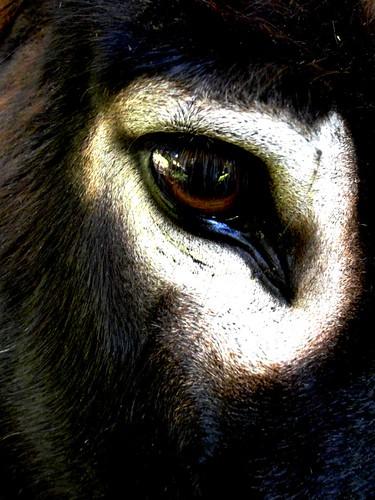 Oeil d'âne