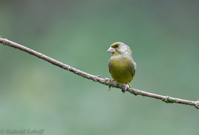 Verdier d'Europe-Chloris chloris - European Greenfinch 6888_DxO.jpg