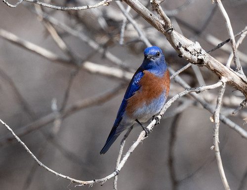 mountain_bluebird-20190303-109