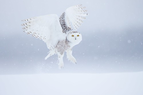 Snowy owl under snow , now we are in great Quebec !! Cold, windy and a cooperative bird, what else could we ask for. A Ghost just fly by , It seems it was yesterday.