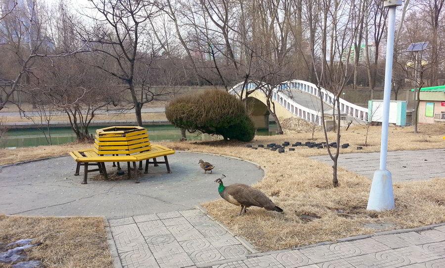 павлин в парке