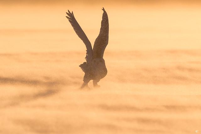 ''Au pays du harfang!'' Harfang des neiges-Snowy owl