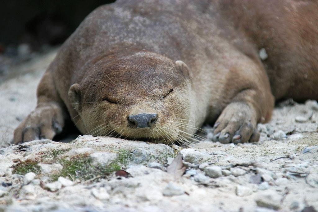 Hiking in SIngapore: Otter - Sungei Buloh