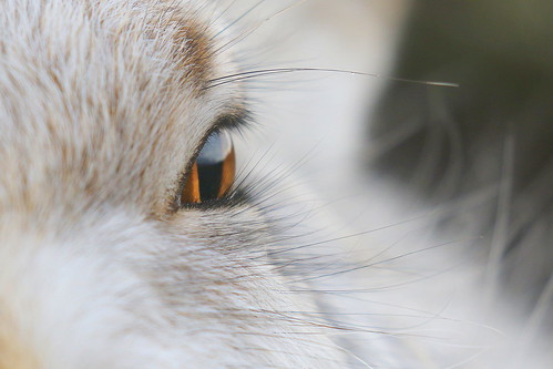 Mountain Hare up close