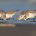 Sanderling (Calidris alba)