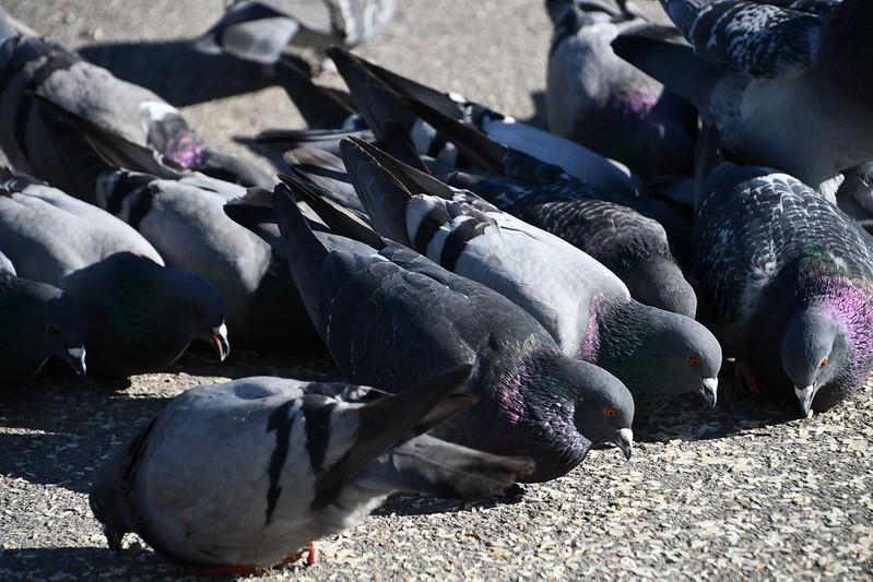 Pigeons 26.03 (3)