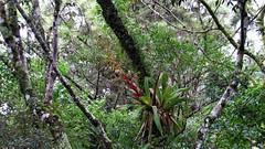Vriesea reitzii no habitat - 2019