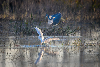 An altercation between a Snowy egret and a Tricolored heron at Babcock Wildlife Management Area near Punta Gorda, Florida