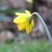 14Feb19 Daffodil
